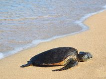 Hawaiian green sea turtle (honu, Chelonia mydas) Stock Photos