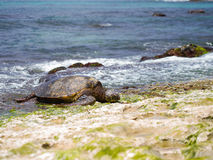 Hawaiian green sea turtle @ Oahu's North Shore, Hawaii. Giant Sea turtle sun bathing at the secret turtle beach on Oahu's North Shore Royalty Free Stock Images