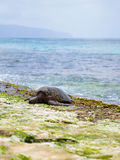 Hawaiian green sea turtle @ Oahu, Hawaii. Giant Sea turtle sun bathing at the secret turtle beach on Oahu, North Shore, Hawaii Stock Images