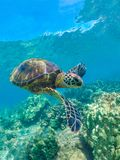 Green Sea Turtle Swimming Colorful Shell Maui Hawaii royalty free stock photography