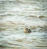 Hawaiian green sea turtle takes a breath Stock Image