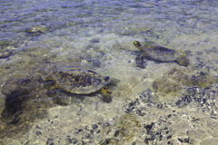 Hawaiian green sea turtles Stock Photography
