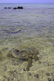 Hawaiian green sea turtles Stock Photos