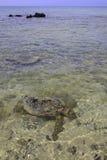 Hawaiian green sea turtles Stock Photos