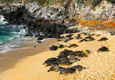 Hawaiian Green sea turtles. The Baldwin Beach, Maui had scores of turtles resting on the sand. The reason that turtles are so prominent here is because of the royalty free stock photo