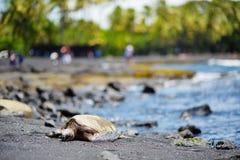 Hawaiian green turtles relaxing at Punaluu Black Sand Beach on the Big Island of Hawaii. USA Royalty Free Stock Image