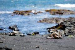 Hawaiian green turtles relaxing at Punaluu Black Sand Beach on the Big Island of Hawaii. USA Stock Photo