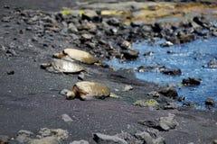 Hawaiian green turtles relaxing at Punaluu Black Sand Beach on the Big Island of Hawaii. USA Stock Images