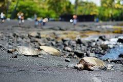 Hawaiian green turtles relaxing at Punaluu Black Sand Beach on the Big Island of Hawaii. USA Royalty Free Stock Photography