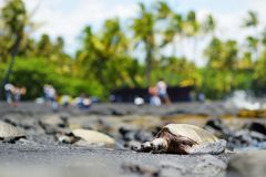 Hawaiian green turtles relaxing at Punaluu Black Sand Beach on the Big Island of Hawaii. USA Royalty Free Stock Photo
