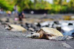 Hawaiian green turtles relaxing at Punaluu Black Sand Beach on the Big Island of Hawaii Royalty Free Stock Photo