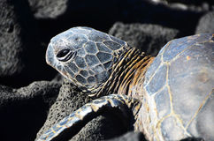 Hawaiian Greenback Turtle Stock Image