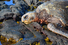 Hawaiian Greenback Turtle Royalty Free Stock Image