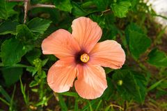 Beautiful flowers on the bushes. unusually beautiful flowering plants. pink flowers Hawaiian hibiscus. Hawaiian hibiscus beautiful flowers on the bushes royalty free stock photography