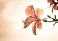 Hawaiian hibiscus in evening Royalty Free Stock Photo