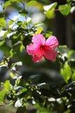 Hawaiian hibiscus flower Royalty Free Stock Photos