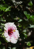 Hawaiian hibiscus flower Royalty Free Stock Images