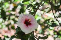 Hawaiian hibiscus flower Royalty Free Stock Image