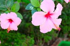 Hawaiian Hibiscus Flowers. Photo of hawaiian hibiscus flowers blooming in garden royalty free stock photo