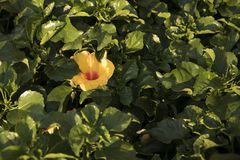 Hawaiian hibiscus flowers ready for sale. Beautiful flowers for a home garden stock image
