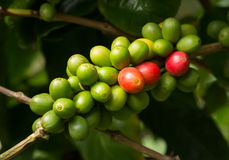 Hawaiian Kona Red coffee beans on tree growing in plantation in. Bunch of red and green Hawaiian Kona Red coffee beans on branch in plantation in Kauai, Hawaii royalty free stock photography
