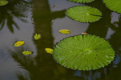 Hawaiian lily pad Royalty Free Stock Photography