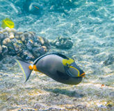 Hawaiian Lipstick Tang Fish Stock Images