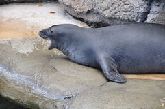 Hawaiian Monk Seal Stock Image