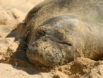 Hawaiian Monk Seal Stock Photos