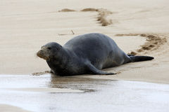 Hawaiian Monk Seal Royalty Free Stock Image