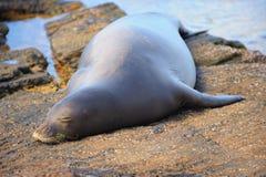 Hawaiian monk seal on beach. Close up of Hawaiian monk seal on rocky beach Royalty Free Stock Photo