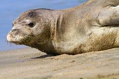 Hawaiian Monk Seal On Beach. Endangered Hawaiian Monk Seal in Kauai, Hawaii Royalty Free Stock Image