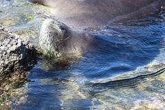 Hawaiian Monk seal breathing. An Hawaiian Monk Seal is breathing with his nose from underwater Stock Image