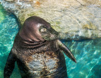 Closeup Hawaiian Monk Seal Royalty Free Stock Images