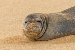 Hawaiian Monk Seal Close Up. An endangered hawaiian monk seal on a Maui beach Stock Photos