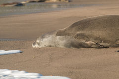 Hawaiian Monk Seal Close Up Stock Photos