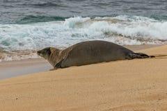Hawaiian Monk Seal. An endangered hawaiian monk seal on a Maui beach Stock Images