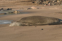 Hawaiian Monk Seal Stock Images