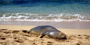 Hawaiian Monk Seal Lounging on Beach Stock Images