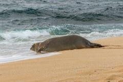 Hawaiian Monk Seal on Maui. An endangered hawaiian monk seal on a Maui beach Stock Photos