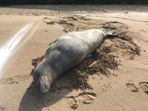 Hawaiian Monk Seal, Monachus Schauinslandi, Lying on Beach in Kauai Island in Hawaii. Royalty Free Stock Photo