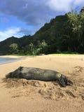 Hawaiian Monk Seal, Monachus Schauinslandi, Lying on Beach in Kauai Island in Hawaii. Stock Photography