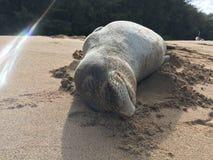 Hawaiian Monk Seal, Monachus Schauinslandi, Lying on Beach in Kauai Island in Hawaii. Stock Image