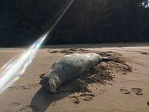 Hawaiian Monk Seal, Monachus Schauinslandi, Lying on Beach in Kauai Island in Hawaii. Royalty Free Stock Image