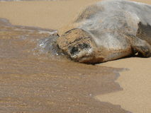 Hawaiian Monk Seal Stock Photography
