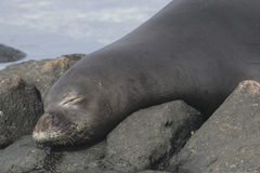 Hawaiian Monk Seal Neomonachus schauinslandi Stock Photo