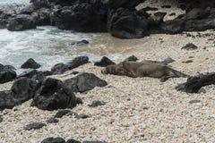 Hawaiian monk seal, Oahu stock photo