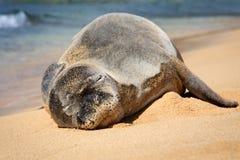 Hawaiian Monk Seal On A Sandy Beach Stock Photos