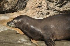 Hawaiian Monk Seal Royalty Free Stock Images