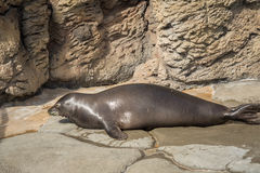 Hawaiian Monk Seal. Rare Hawaiian monk seal got out of the water for a bit of sun baking. This mammal species is considered critically endangered Royalty Free Stock Images